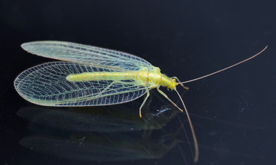 Chrysopidae-insect Green Lacewing