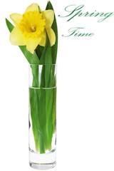 Beautiful spring flower in vase: yellow   narcissus (Daffodil).