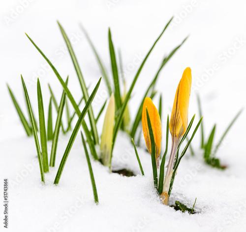 Fotobehang Krokus Crocuses in snow