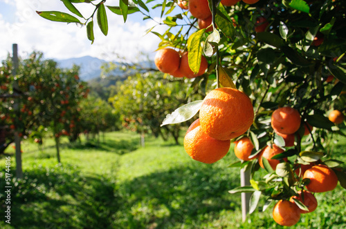 Orange tree © Sarote