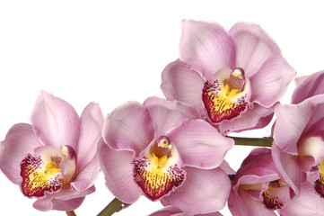 Pink branch orchid on white