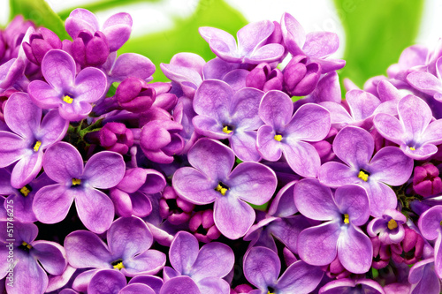 Beautiful Bunch of Lilac close-up.