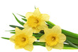 Beautiful spring three flowers : yellow narcissus (Daffodil).