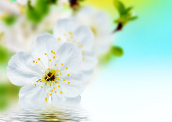 Beautiful spring flowers  background – blossoms.