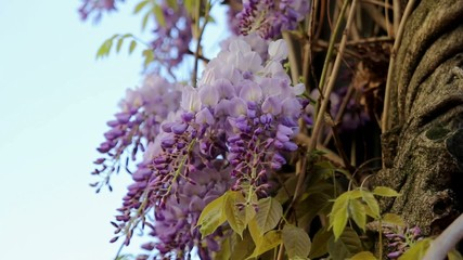 Climbing Wisteria Vine Plant with Blooming Flowers Windy Day