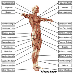 Vector 3D human man muscles anatomy