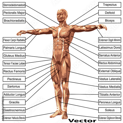 Vector 3D male or human anatomy, a man with muscles and text