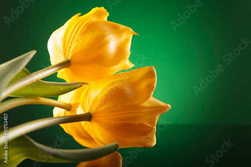 three beautiful yellow tulips on a reflective table