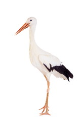 White Stork - Ciconia ciconia. Isolated on white.