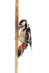 Great Spotted Woodpecker (Dendrocopos major) on white
