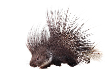 Indian crested Porcupine (Hystrix indica) on white