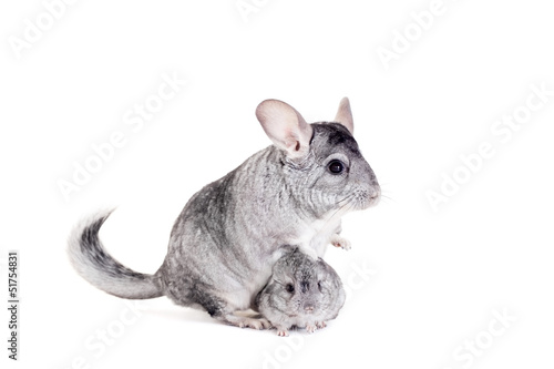 Chinchilla with babies isolated on white