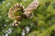 Tawny Owl flying