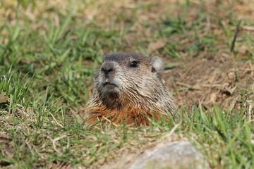 Marmotte dans son terrier