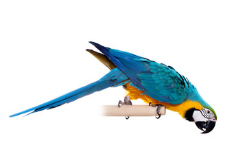 Blue and Yellow Macaw (Ara Ararauna) on white