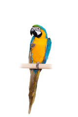 Blue and Yellow Macaw (Ara Ararauna) on white