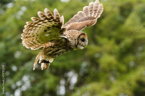 Deurstickers Uil Tawny Owl flying