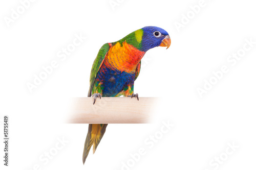 Rainbow Lorikeet (Trichoglossus haematodus) on white