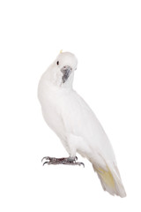 Sulphur-crested Cockatoo, isolated over white background