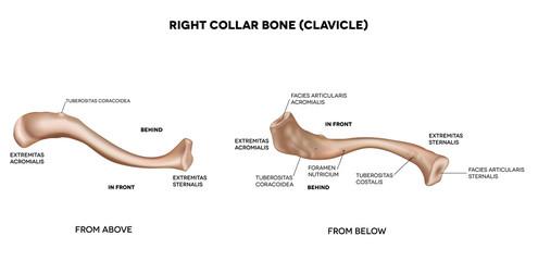 Clavicle (collar bone). Medical illustration.