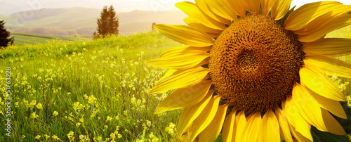landscape with sunflowers in Tuscany, Italy