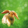 canvas print picture - Hase in Wiese