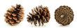 Brown Pine Cone Three Directio...