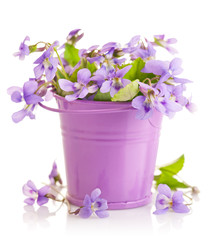 spring flower violet with leaf in little bucket isolated on