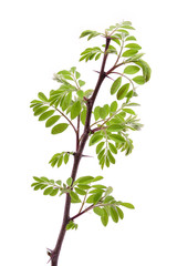 Young acacia leaves, isolated on a white background