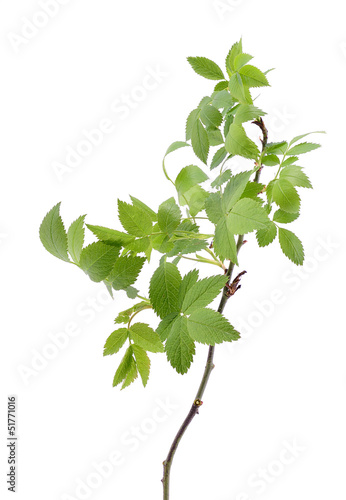 Young spring leaves on the branch, isolated on white