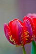 Closeup of red tulips against gray background.