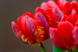 Closeup of red tulips