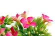 Boccioli  e fiori di Kalanchoe