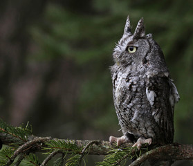 Perched Screech Owl (Megascops asio).