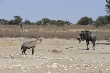 Predator and prey interact at waterhole, Kalahari desert