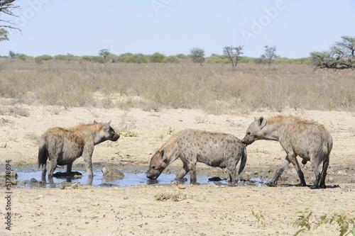 Papiers peints Hyène Spotted Hyaena (Crocuta crocuta) clan at waterhole