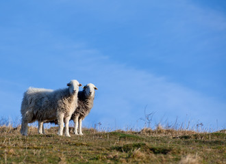 Two sheep standing together