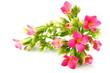 Rametto con fiori e boccioli di Kalanchoe