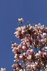 fiori rosa in un albero di Magnolia
