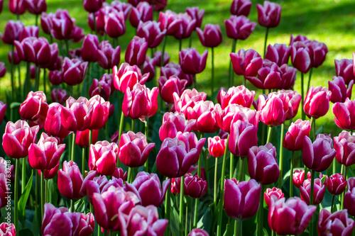 aiuola con tulipani bicolor