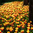 prato di tulipani