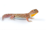 African barking gecko on white