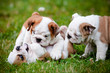 english bulldog puppies playing together