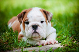 adorable bulldog puppy outdoors