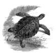 Turtle - Schildkröte - Tortue : Chélonée Imbriquée