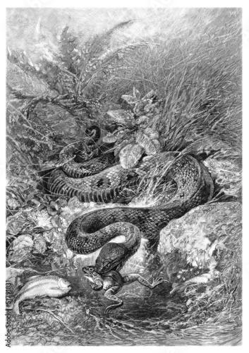 Snake : eating a Frog - Serpent dévorant une Grenouille