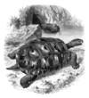 Turtle - Schildkröte - Tortue Éléphantine