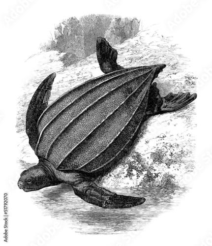 Turtle - Schildkröte - Tortue Sphargis
