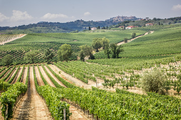 Vineyard in the area of ​​production of Vino Nobile