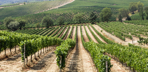 Vineyard in the area of production of Vino Nobile